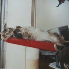 Tigergirl was so happy about the new cat stand  (Yr 1999?) - Dorothy Parker